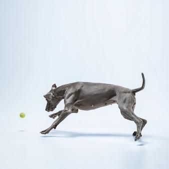고스트 러너. weimaraner 강아지가 공을 가지고 놀고 있습니다. 파란색 배경에 격리된 귀여운 장난스러운 회색 강아지나 애완용 장난기 가득한 잡기 장난감. 움직임, 행동, 움직임, 애완동물 사랑의 개념.