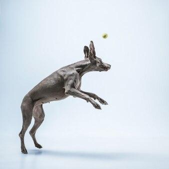 고스트 러너. weimaraner 개는 공을 가지고 놀고 점프합니다. 파란색 배경에 격리된 귀여운 장난스러운 회색 강아지나 애완용 장난기 가득한 잡기 장난감. 움직임, 행동, 움직임, 애완동물 사랑의 개념.