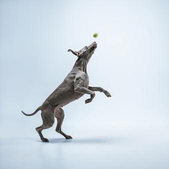 고스트 러너. weimaraner 강아지가 공을 가지고 놀고 있습니다. 파란색 배경에 격리된 귀엽고 장난기 많은 회색 강아지나 애완용 장난스러운 잡기 장난감. 움직임, 행동, 움직임, 애완동물 사랑의 개념.