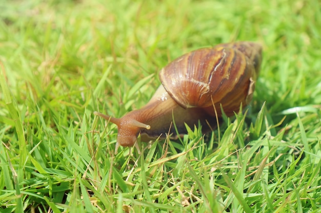 Giant african land snail crawling on the green grass in the summer morning. animal and wildlife concept.