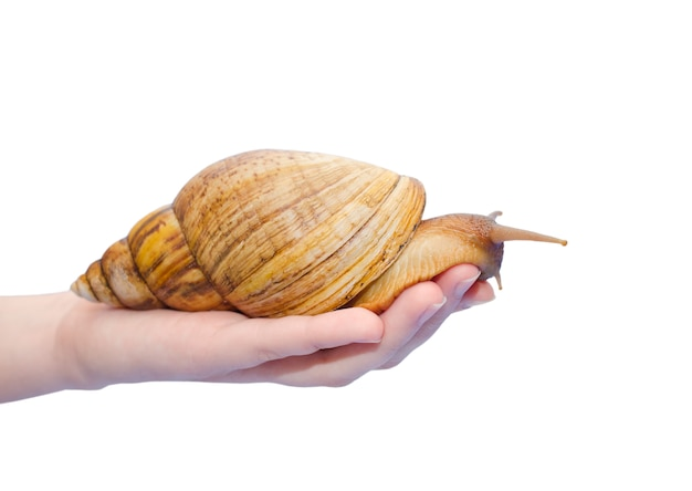 Giant african snail on a human hand (isolated on white)