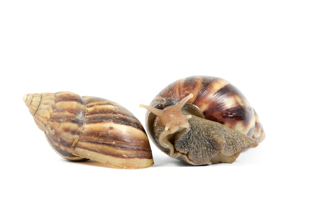 Giant african snails isolated on white