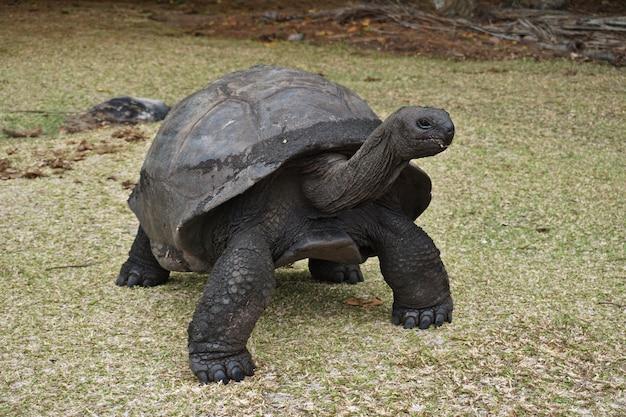 Giant aldabra tortoise on an island in seychelles.
