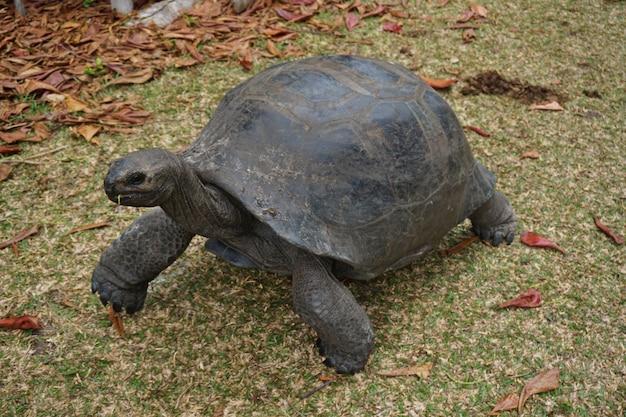 세이셸의 섬에 거대한 알다 브라 거북이.