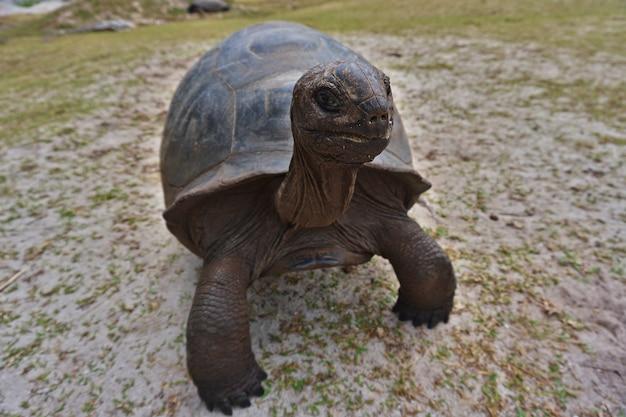 Гигантская черепаха альдабра на острове любопытный на сейшельских островах.