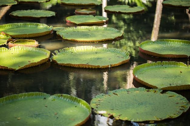 モーリシャスのパンプルムース植物園にある巨大なアマゾンのユリ。オオオニバス、ビクトリアレジア