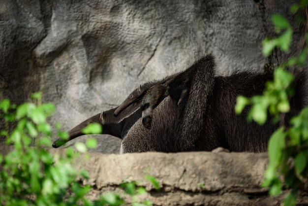 Giant anteater. latin name - myrmecophaga tridactyla