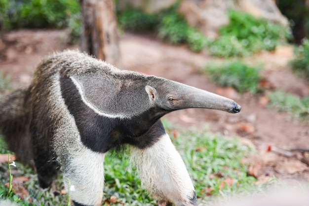 Giant anteater walking in the farm wildlife sanctuary - myrmecophaga tridactyla