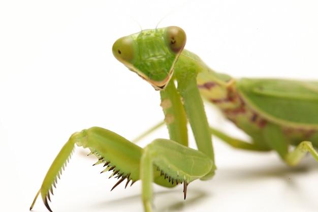 分離された巨大なアジアの緑のカマキリ