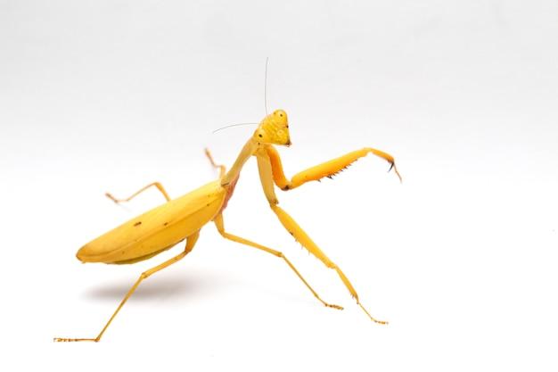 分離された巨大なアジアの黄色のカマキリ