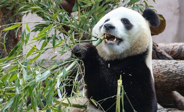 竹の上のジャイアントパンダのニブル。