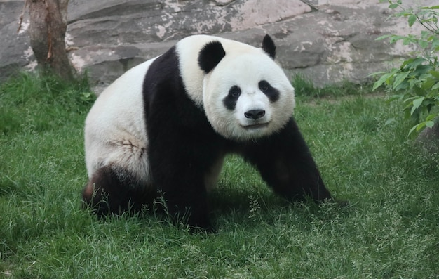 A giant black and white panda is walking on the green grass.