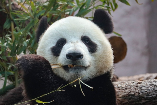 Giant black and white panda nibbles on bamboo.