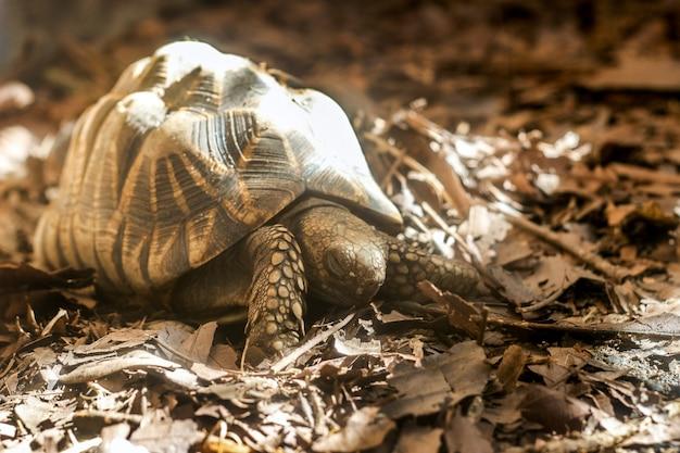 Giant brown japaniese turtle slow walking