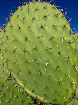 The giant cactus in mexico