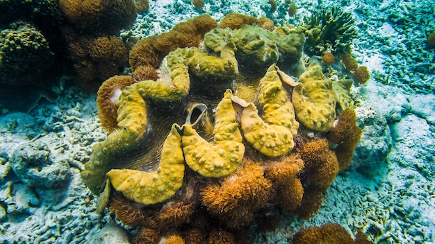 Giant colorful clam tridacna gigas grows in the bottom in raja ampat, indonesia.