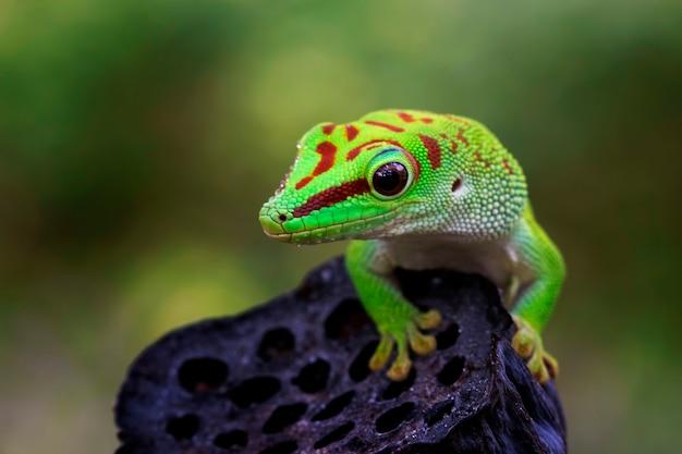 Giant day gecko lizard on bud, giant day gacko closeup