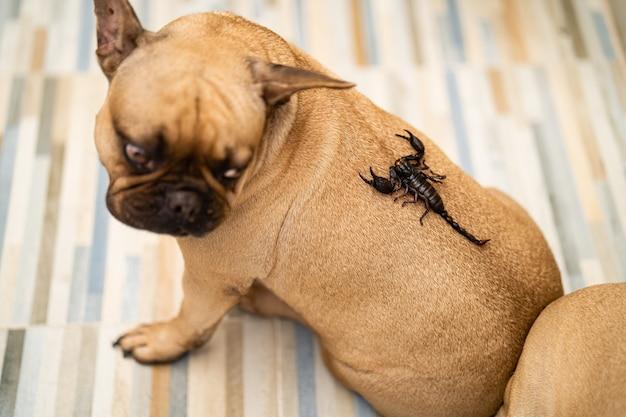 Гигантские лесные скорпионы ползают по спине собаки в помещении