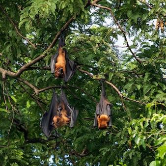 Giant fruit bat on tree
