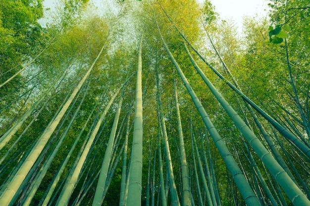 巨大な緑の竹の木が空に向かって育ちます