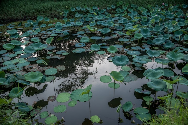 Giant green lotus leaves in the pond