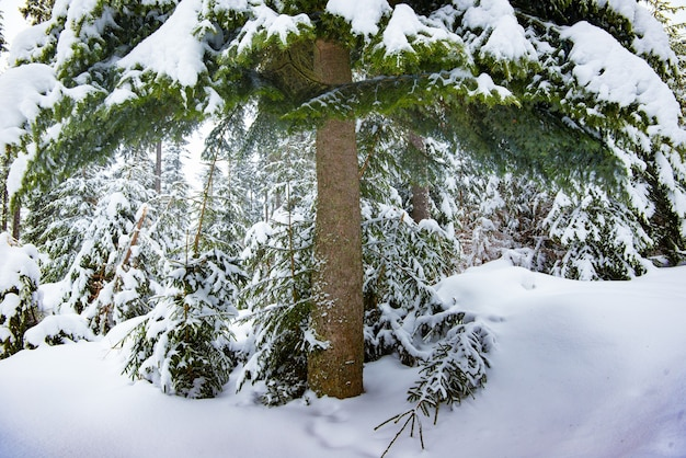 Giant green spruce covered with snow in a dense winter forest on a cloudy day