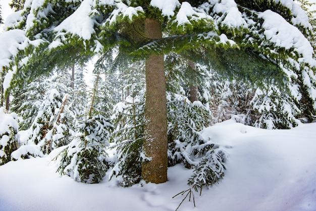 흐린 날에 울창한 겨울 숲에 눈이 덮여 거대한 녹색 가문비 나무