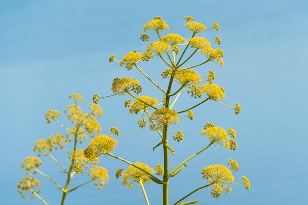 Гигантский борщевик, гигантский борщевик на фоне голубого неба, опасное растение