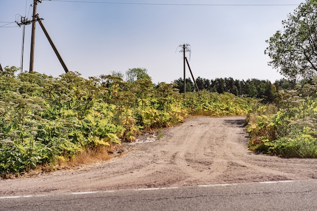 Giant hogweed growing in the countryside by the road blue cloudless sky on background