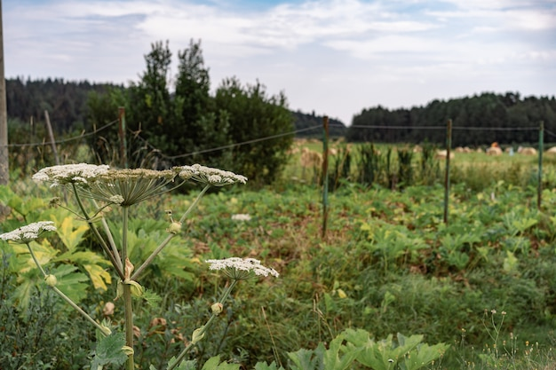 Giant hogweed growing in the countryside by the road
