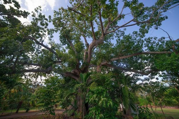 푸른 하늘이 나소에 거대한 거대한 나무. 바하마