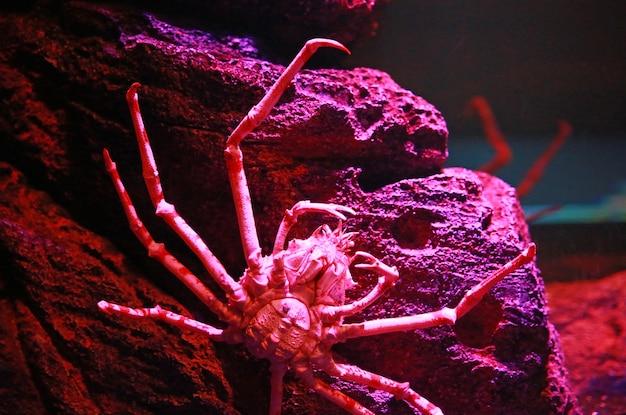 거대한 일본 거미 게