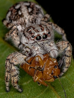 Giant jumping spider of the subfamily salticinae preying on a adult leaf beetle of the subfamily eumolpinae