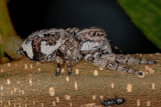 Giant jumping spider of the subfamily salticinae