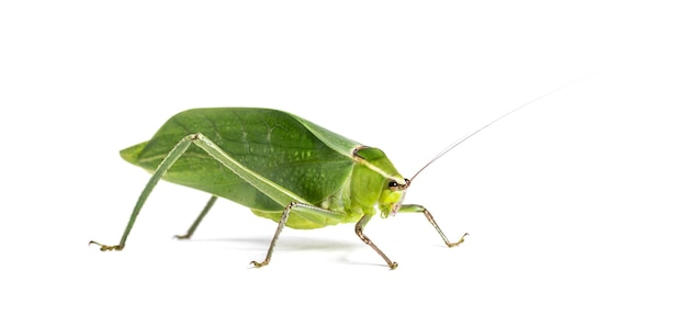 Giant katydid, stilpnochlora couloniana, in front of white