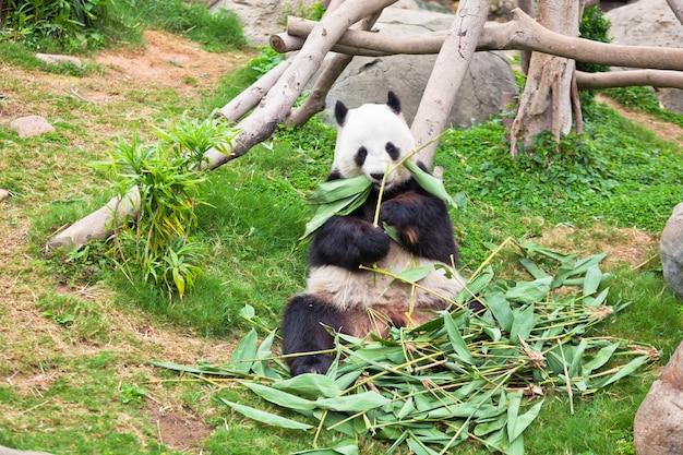 홍콩 동물원에서 자이언트 게으른 판다 곰