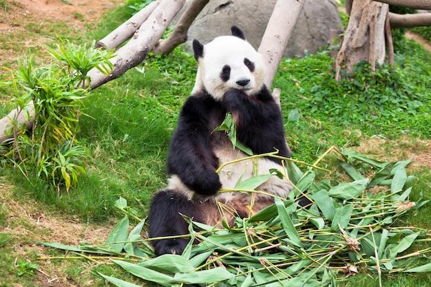 動物園で巨大な怠惰なパンダのクマ