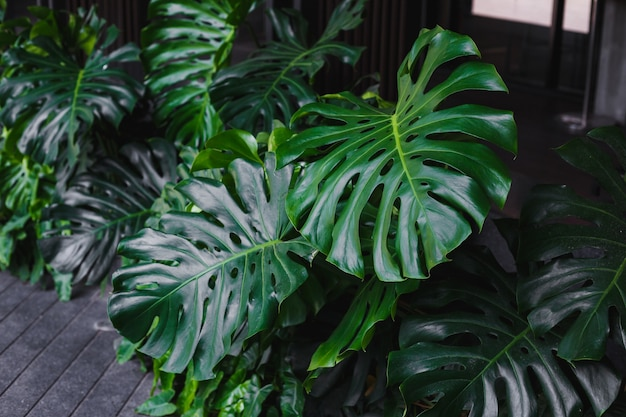 Giant monstera leaves tropical plant