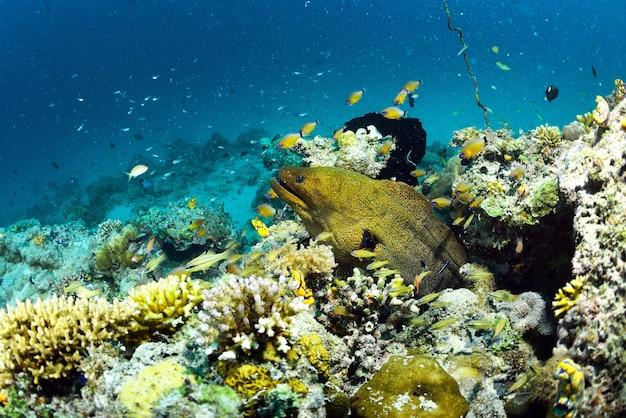 Giant moray in sipadan, borneo, malaysia