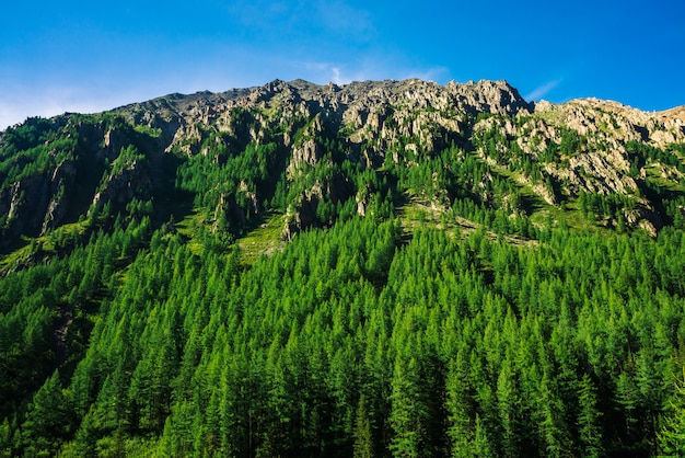 Giant mountain slope with conifer forest in sunny day. texture of tops of coniferous trees on large mountainside in sunlight. steep rocky cliff.