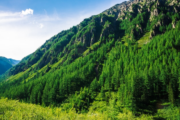 Giant mountain slope with conifer forest in sunny day.