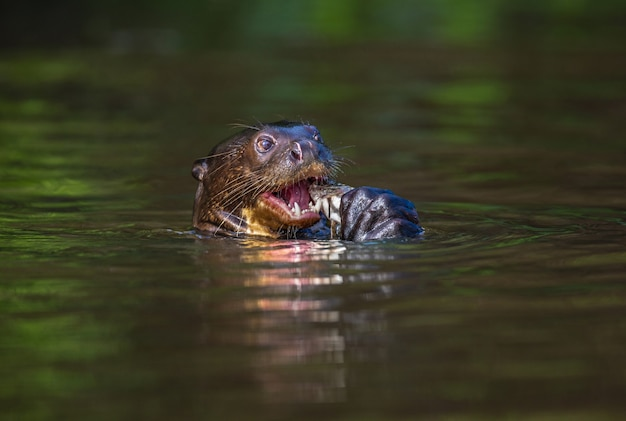 オオカワウソは水中で魚を食べています