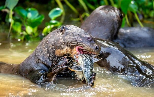 물속에서 물고기를 먹는 거대한 수달