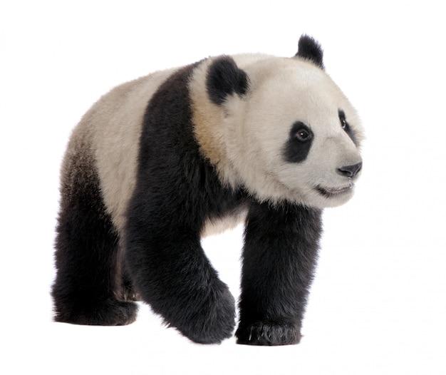 거 대 한 팬더, 흰색 절연에 ailuropoda melanoleuca