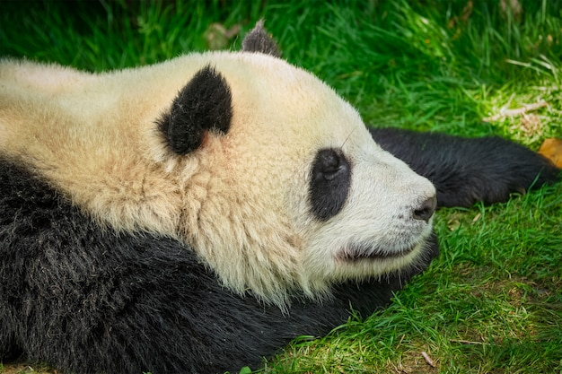 中国のジャイアントパンダのクマ