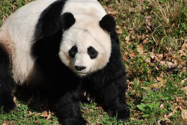 화창한 날 풀밭에 앉아 있는 자이언트 팬더 곰.