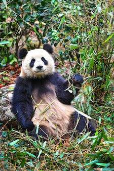 Giant panda eating bamboo in chengdu china