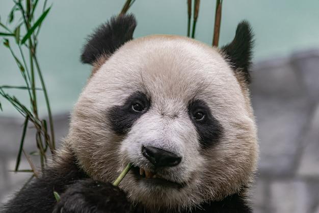 Giant panda , eating bamboo