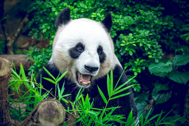 Giant panda in green jungle forest