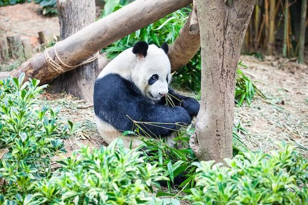Giant panda is eating green bamboo leaf